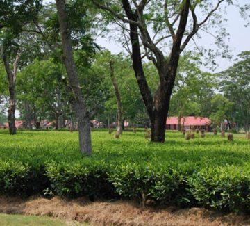 Kaziranga Golf Resort - Plantación de té